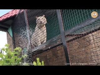 Бенгальская тигрица принимает душ. тайган. bengal tigress is taking a shower. ta