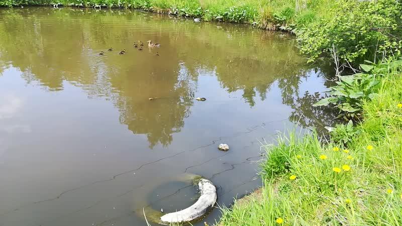 3 1 Озеро в деревне и утята
