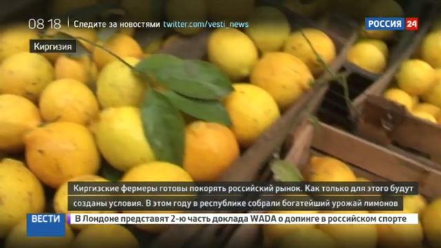 Новости на Россия 24 • Киргизские лимоны готовятся покорить российский рынок