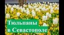Парад тюльпанов в Севастополе. Крым