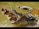 Top Wild Animals Fights Tiger vs Crocodile, World of Wildlife Animals