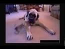 Большая собака глотает маленькую