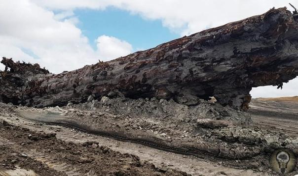 В Новой Зеландии обнаружили дерево, пережившее инверсию магнитного поля Земли