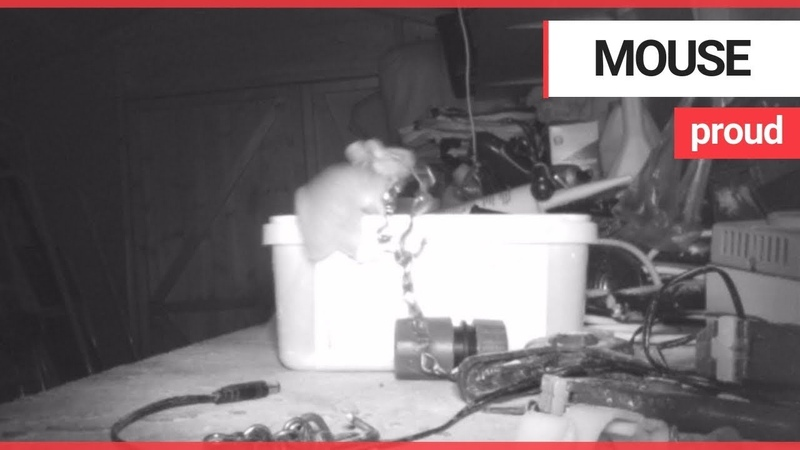 House-proud mouse caught on camera tidying garden shed | SWNS TV
