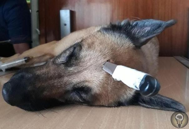 Защищая хозяина, овчарка приняла на себя удар ножом. Он пришелся в голову В ЮАР овчарка по кличке Дюк защитила хозяина, когда на прогулке неизвестный напал на него с ножом. Собака бросилась на