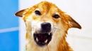 Как помыть сиба ину шиба ину собаку