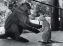 Котенок Пушок старается перенять обезьяньи повадки. Эта фотография…