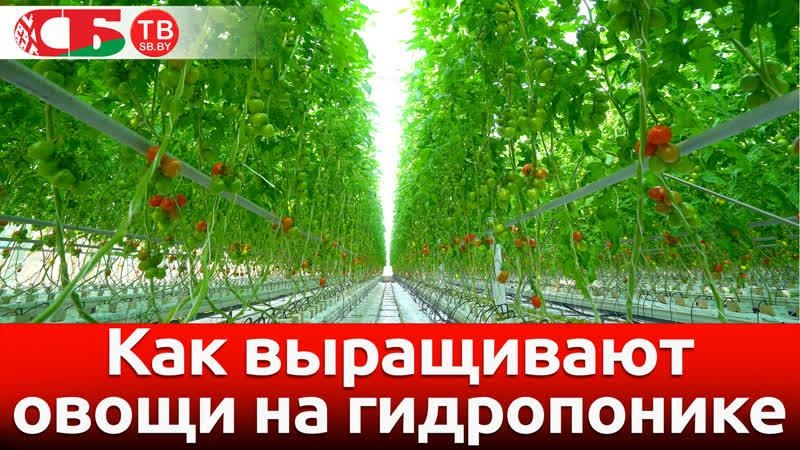Как выращивают овощи на гидропонике | 4k UHD видео
