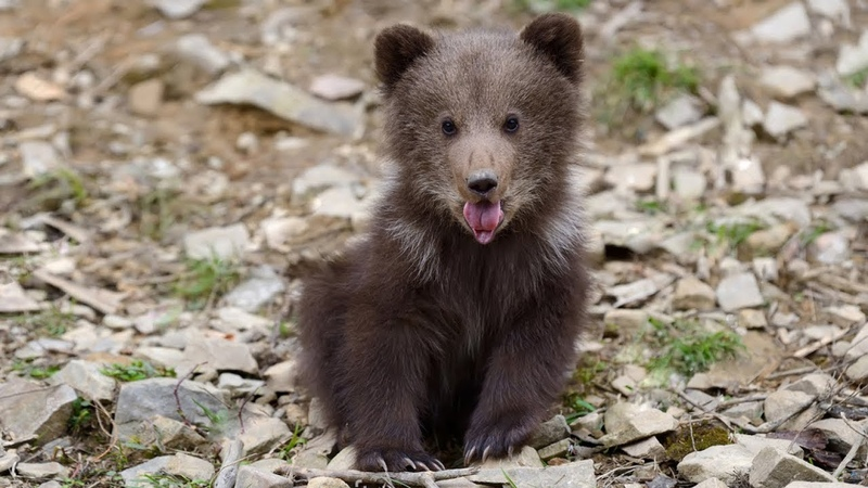 Потерявшийся голодный медвежонок вышел к людям и с дикими криками начал забирать у них еду