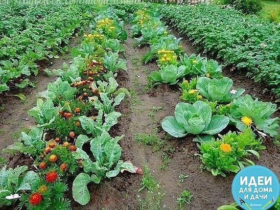 Овощи, которые стоит посадить рядом друг с другом. 1. Чудесное трио: кукуруза, горох и тыква. Секрет их совместного выращивания знали ещё американские индейцы. Кукуруза даст опору гороху,