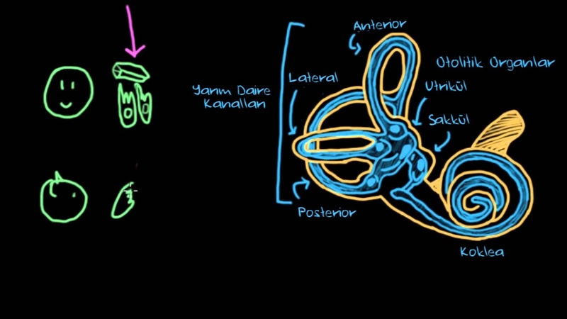 Vestibüler Sistem, Denge ve Baş Dönmesi (Psikoloji / Çevreyi Algılama)