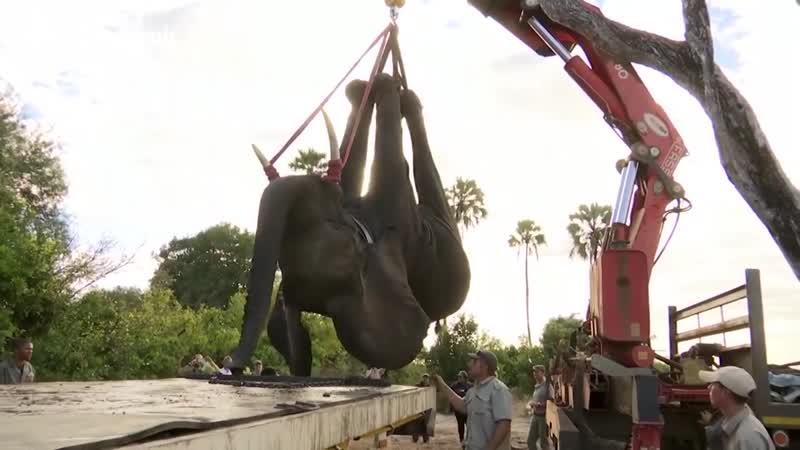 Conservationists use cranes to help relocate dozens of wild elephants
