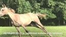 Продажа лошадей арабской породы конефермы Эквилайн, тел., WhatsApp 79883400208 ЛЕТИЦИЯ 2017г.р.