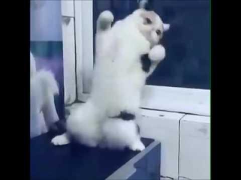 Кошка танцует танец живота