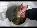 Зимняя рыбалка .Ловля щуки по первому льду на жерлицы !