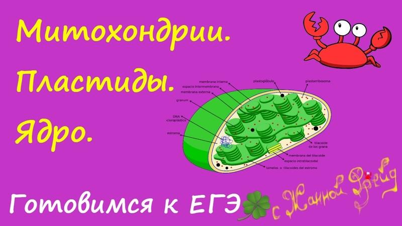 Двумембранные органоиды:,МИТОХОНДРИИ,ХЛОРОПЛАСТЫ,ЯДРО