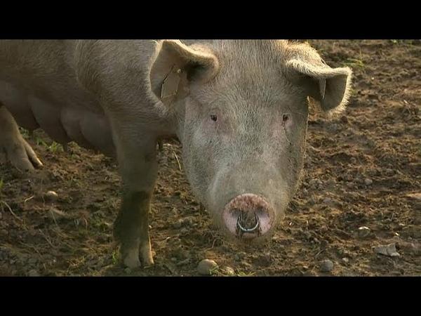 «Свободные» свиньи не стесняются