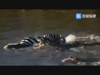 Нильские крокодилы нападают на зебр и антилоп гну