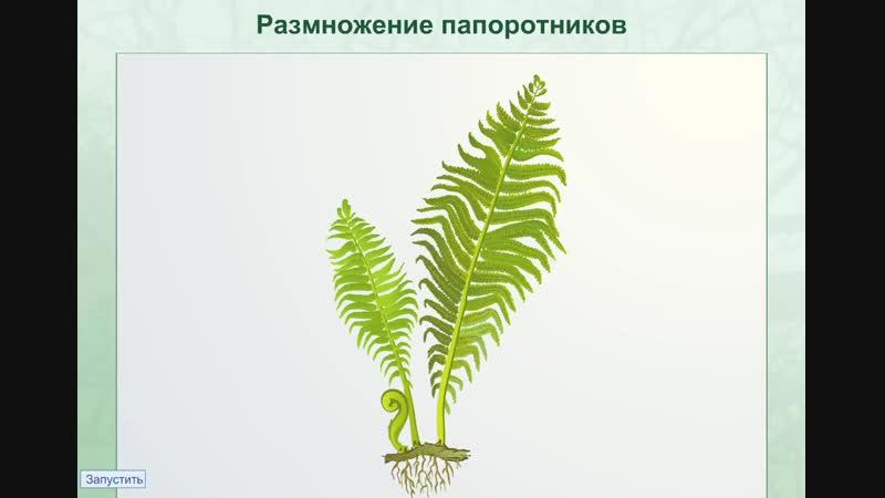 размножение папоротников