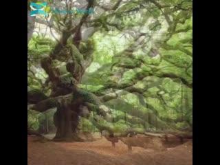 1,500-летний ангел дуб в Южной Каролине