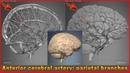 Anterior cerebral artery: parietal branches | Arteries of head and neck | 3D Human Anatomy | Organs
