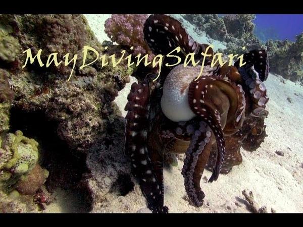 Осьминоги в борьбе за даму Три осьминога выясняют отношения