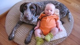 GERMAN SHORTHAIRED POINTER LOVES BABY AT THE FIRST TIME THEY MET Dog loves Baby Compilation