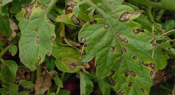 Сухие коричневые пятна на листьях томата: как лечить макроспориоз Среди неприятных грибковых заболеваний томатов, которые могут проявиться на любой стадии развития от рассады до взрослого