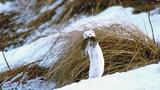 Ласка (Mustela nivalis). Охота на мышей. Шахдагский парк.