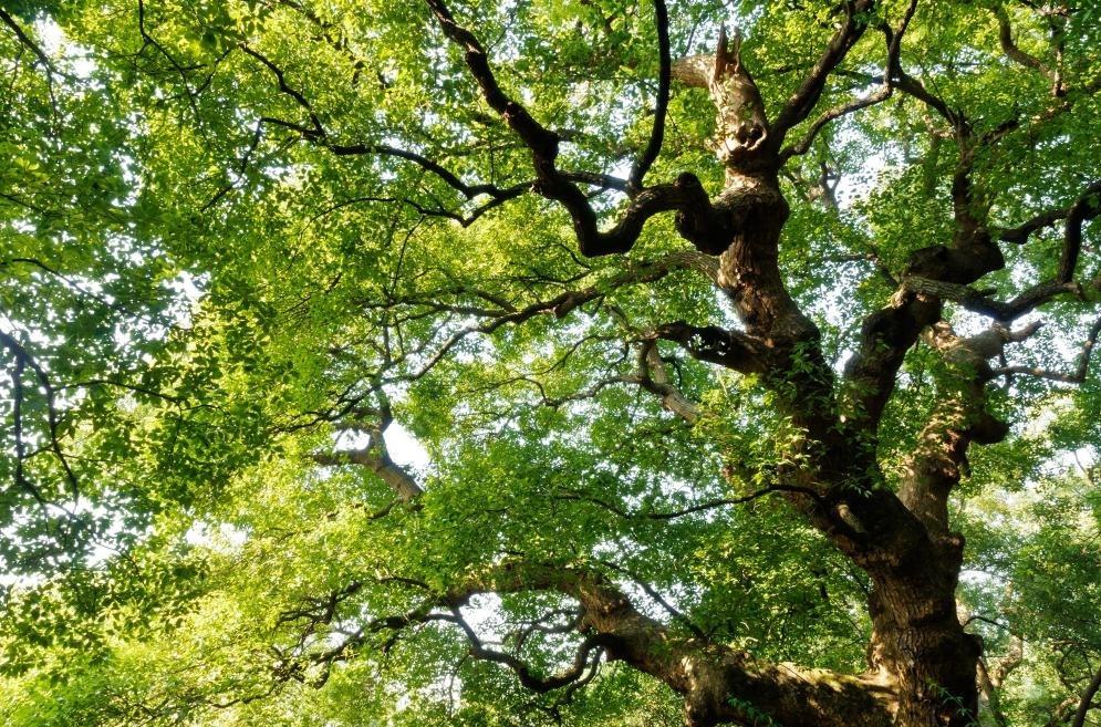 Большие тени деревьев могут помочь уменьшить потребности в энергии дома.