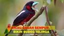 Garangnya Suara Burung Sempur DIJAMIN Suaranya Bikin Budeg Telinga