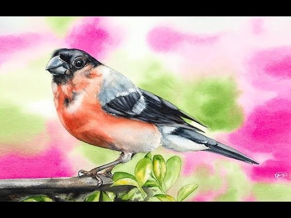 Bullfinch Bird Painting in Watercolor Wet on Wet Background