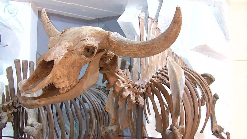 Новосибирцы придумывают имя бизону времён ледникового периода