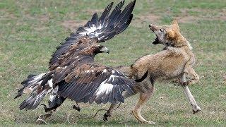 Лиса схватила кролика, но орлан унес обоих в небо..