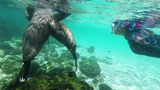 Happy Sea Lions Surround and Play With Swimmer at the Beach