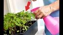 Чрезвычайно важно не допустить эти ошибки при выращивании помидор!