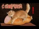 Приколы с котами – озвучка животных – Мне бы таких котов! Domi Show