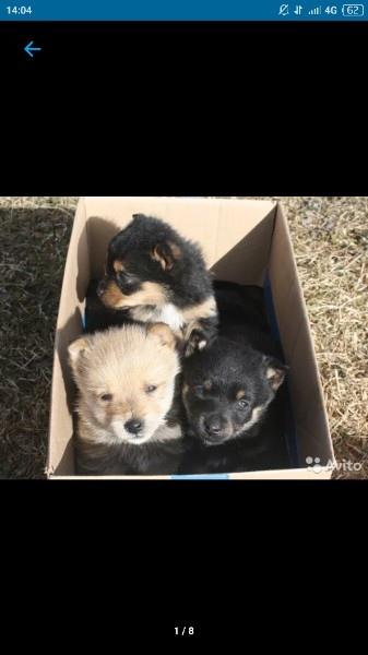 Щенки-мальчики от небольшой собачки.