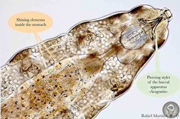 В желудке тихоходки обнаружены загадочные кристаллы. Биолог Рафаэль Мартин-Ледо заглянул внутрь крошечного беспозвоночного и обнаружил там неизвестные кристаллы, сияющие на фазово-контрастном