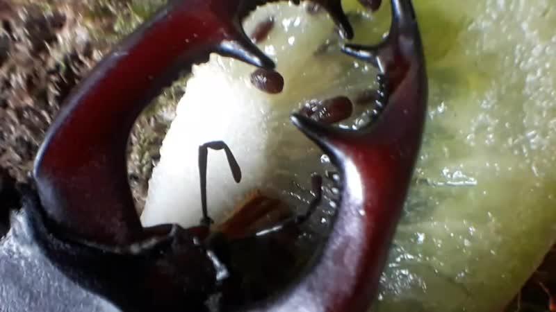 Жук Олень лопает киви