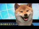 Shiba news