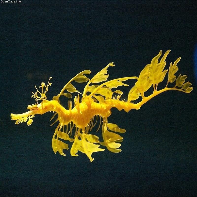Лиственный морской дракон