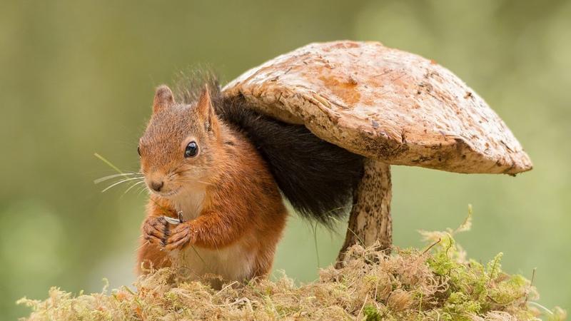 Картинка животное. Белка под грибом, зверёк-грызун, jpg.