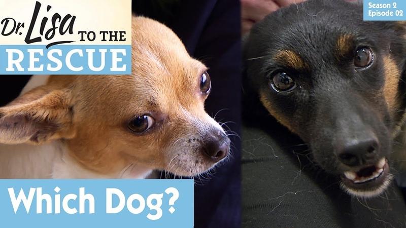 Доктор Лиза спешит на помощь: Какую собаку выбрать? 2 сезон 2 серия Which Dog To Choose? S02E02 Dr Lisa to The Rescue