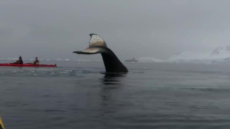 Наблюдение за горбатыми китами.