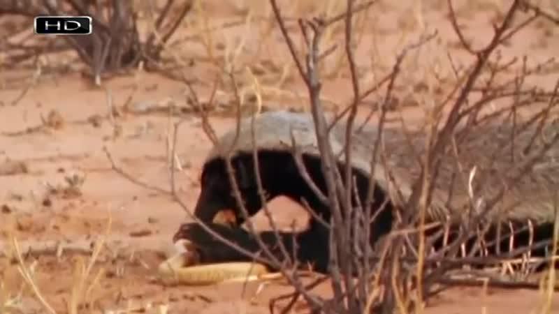 Самое агрессивное животное планеты - Медоед