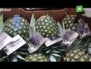 Вы не поверите, что скрыто в этих ананасах! Полиция обнаружила около 67 кг кокаина. Преступники склеили кожуру так искусстно,
