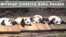 Arrange Sleeping Baby Pandas iPanda