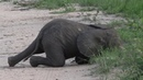 Baby Elephant Naps After Playtime With His Trunk || ViralHog