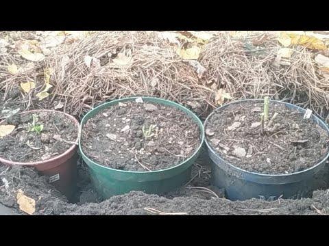 Сажаем В Зиму Новые Сорта Крупнолистных Гортензий 16.10.17г